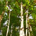 Birch Trees Series